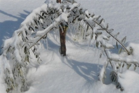 snjegovi i maslina